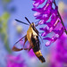 Hemaris diffinis - Snowberry Clearwing
