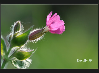Red Campion | by davolly59