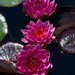 Nymphaea cv James Brydon LG 6-24-12 1331 cropped lo-res