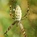 Aranha-vespa // Orb-weaving Spider (Argiope bruennichi), female