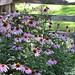 (3) Echinacea (purple coneflower) is my favorite flowering perennial - FarmgirlFare.com