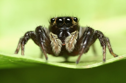 Jumping Spider | by karthik Nature photography