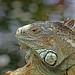 Iguana (Estare ausente unos dias)