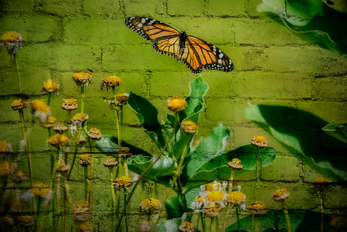 Monarch | by Tom Whitney Photography