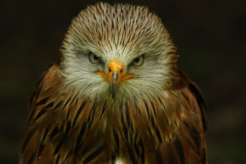 Red Kite | by thomaswinstonus