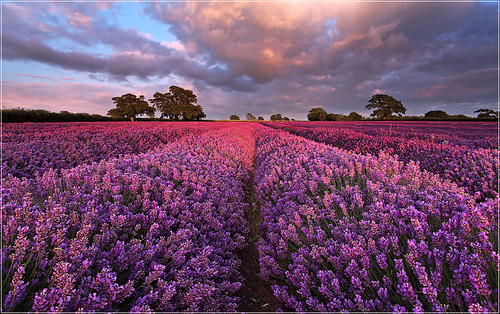 Lavender Sea | by Sandra OTR