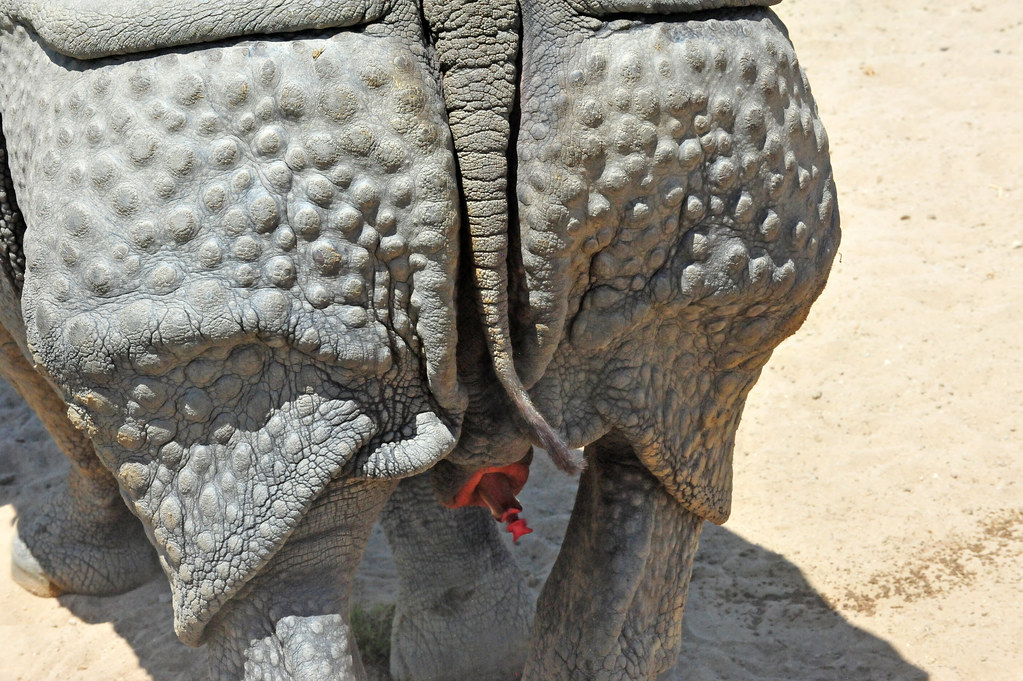 ... one horned rhinoceros also known as indian rhinoceros is exclusivley