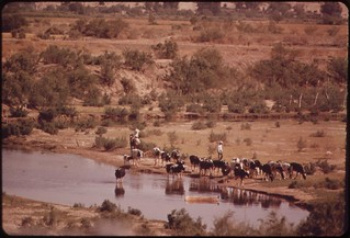 Watering cattle in the Colorado River at San Luis, Mexico, May 1972 | by The U.S. National Archives