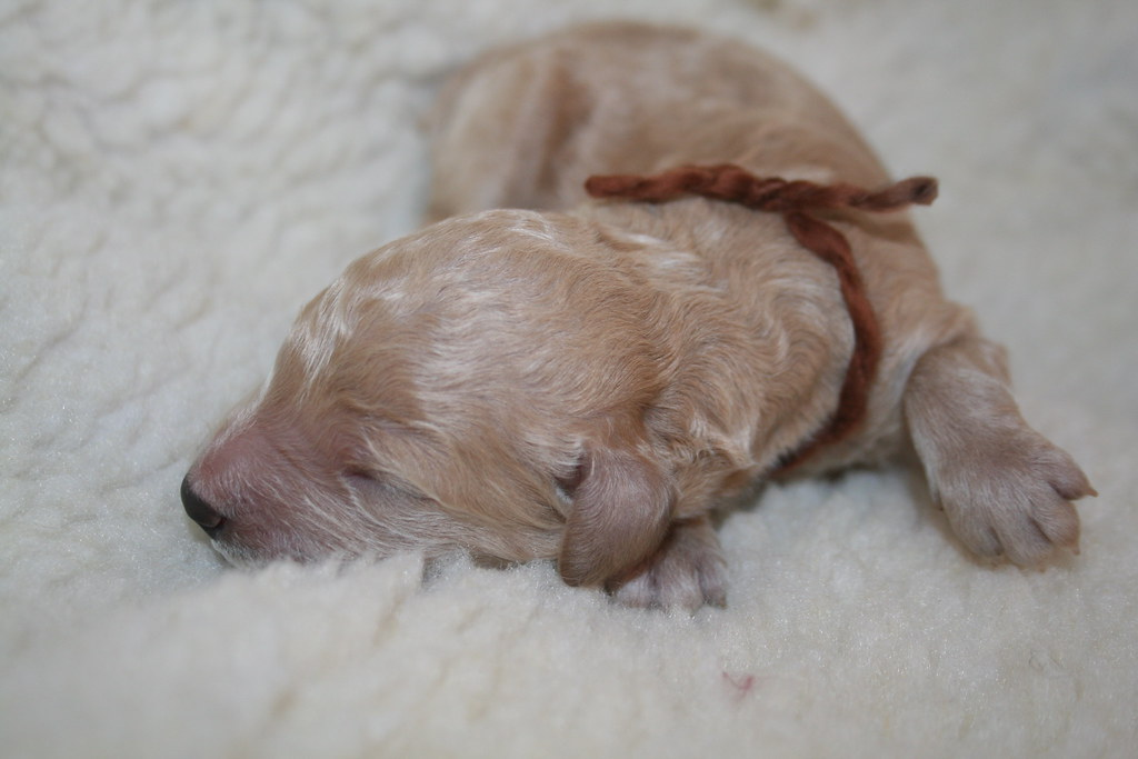 F1B Goldendoodle Puppies | Puppies for sale! Standard F1B Go