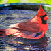 Bath Time for Mr. Cardinal.