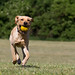 yellow lab yellow ball