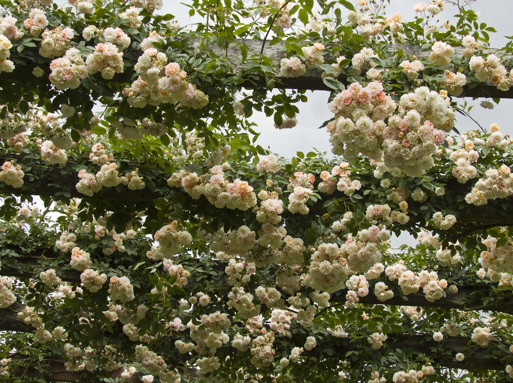 The Climbing Rose Treasure Trove At Its Best With This P