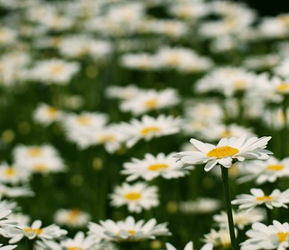 White Daisy | by j man.