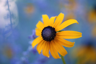 Black Eyed Susan | by j man.