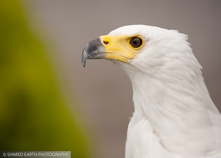 African Fish Eagle | by Poyntonshoot Mike