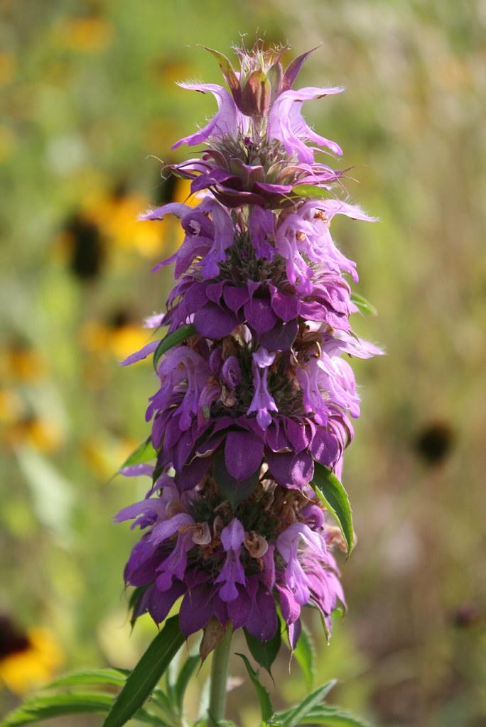 Texas Wildflower in Purple | Purple Horse Mint/Lemon Mint ...