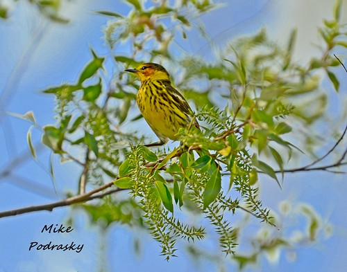 Cape May Warbler sitting on high... | by Mike Podrasky's photography