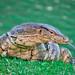 Monitor Lizard from Lumpini Park at Bangkok Thailand