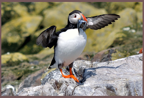 puffin- Farne Isles 1143 | by D210bob
