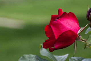Rose | by Mikl - Concept-Photo.fr (CRBR)