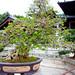 Bonsai_5783