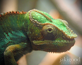 chameleon moment | by jaki good miller