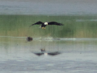 Second eagle misses ducklings 20120712 | by Kenneth Cole Schneider