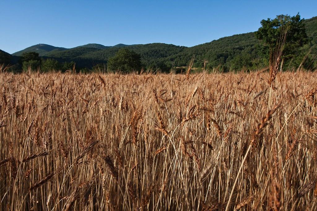 Andiamo a mietere il grano antica variet di grano sere for Da dove proviene il grano della barilla