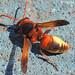 Vespa // Wasp (Rhynchium oculatum), male
