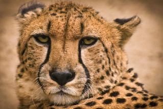 Moscow Zoo - Cheetah (Acinonyx Jubatus) | by tovsla