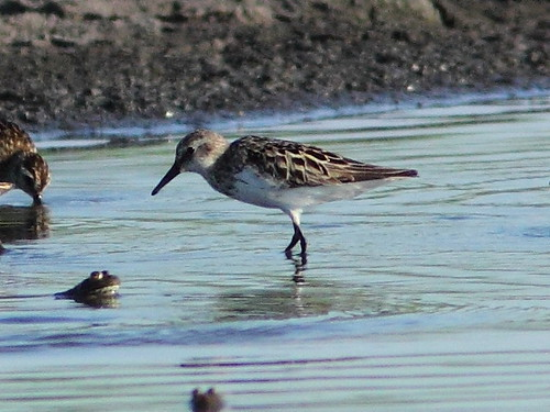 Possible Pectoral Sandpiper  20120717 | by Kenneth Cole Schneider
