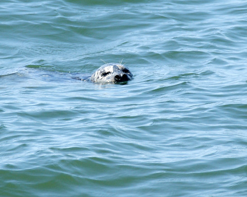 Seal in the water | by kkdemien