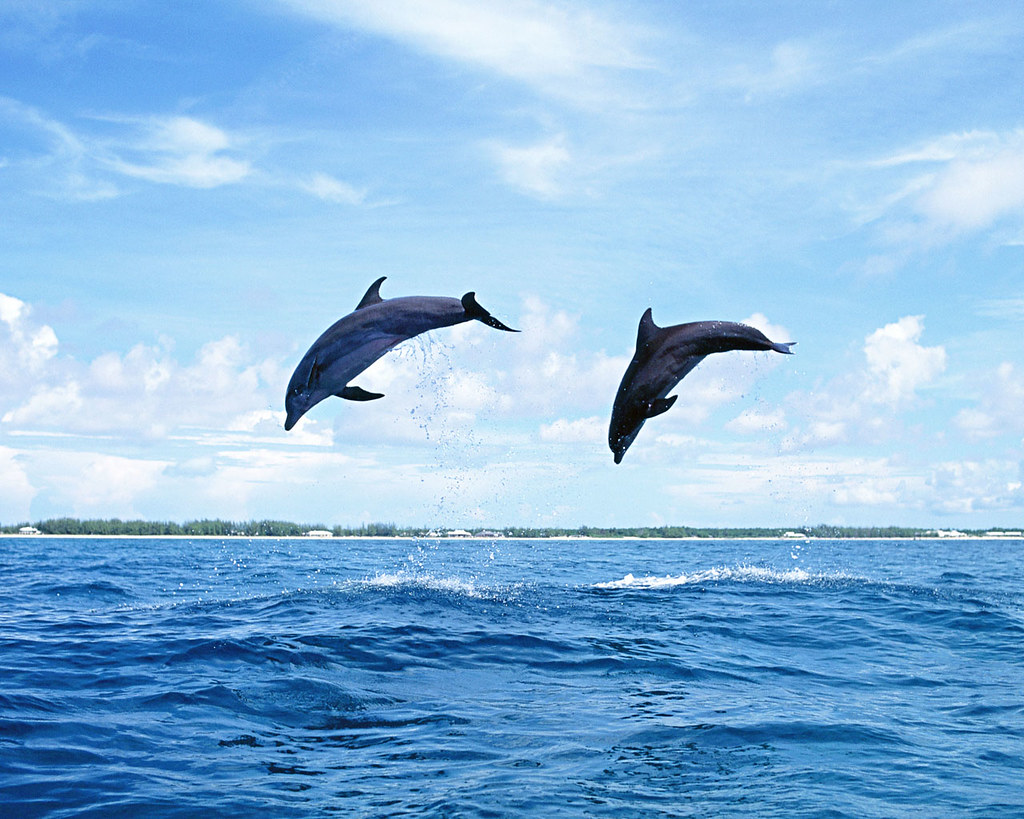 The Best Top Desktop Dolphin Wallpapers Hd Dolphins