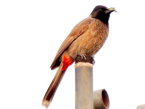 The Red-vented Bulbul (Pycnonotus cafer)..India | by Dr arun kapoor