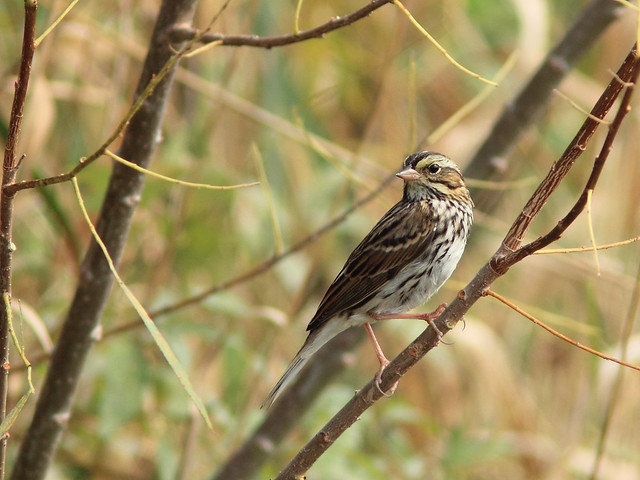 Savannah Sparrow 07-20160925