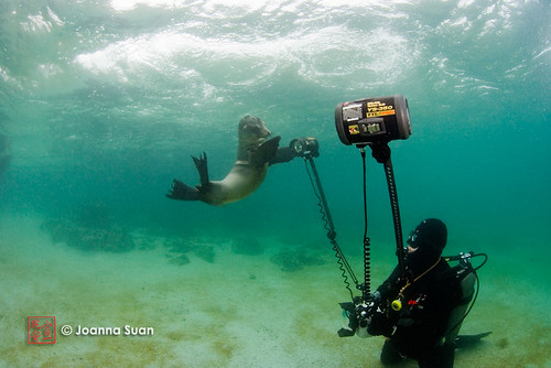 Sea Lion and Strobes | by ScubaJo
