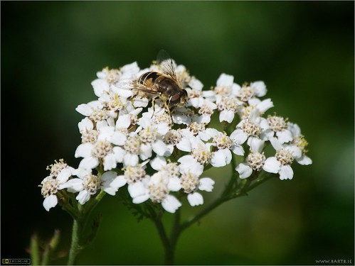 Hoverfly on Yarrow | by bbusschots