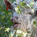 Goat Grazing Project I