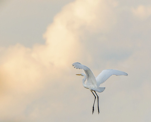 Great Egret | by Jim McCree