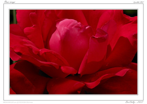Rose rouge - Red rose | by BerColly