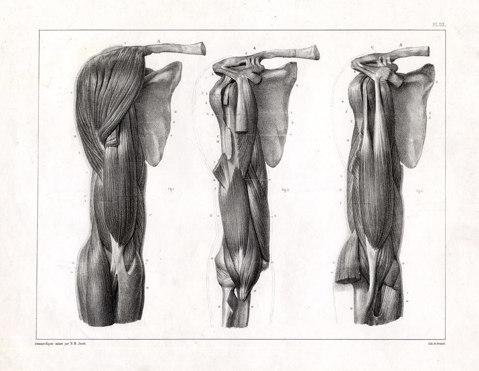 Muscles du Bras. Plan Anterieur | \'Muscles du Bras. Plan Ant… | Flickr