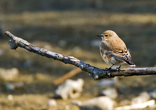 Wheatear_6935 | by Peter Warne-Epping Forest