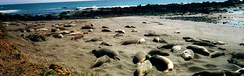 Elephant seals | by khegre