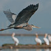 Great Blue Heron and White Pelicans