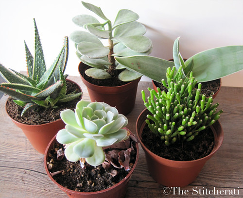 Succulents from Home Depot | by thestitcherati