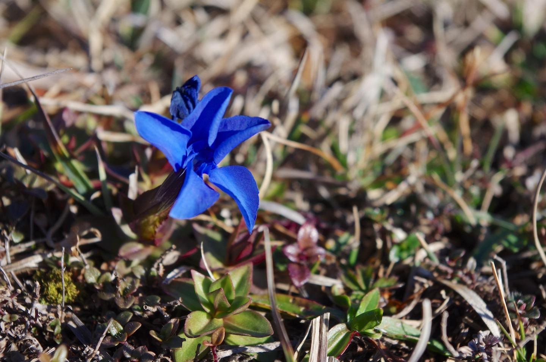 Hořec jarní si popletl roční období ke květu