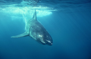 106090 Great White Shark | by Nick Sidle
