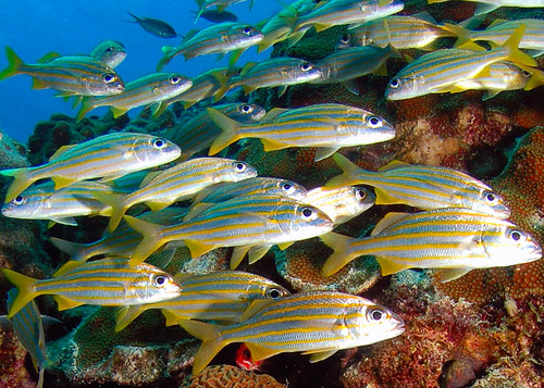 Orange lined Sweetlips | by gillybooze (blank pages)