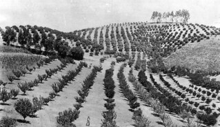Orange groves in Southern California | by Pomona College
