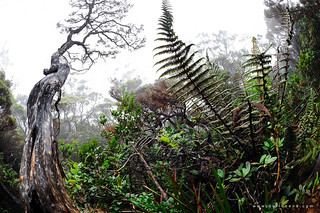 IKEBANA : one of the trails going up to Mt Kinabalu .. MESILAU TRAIL | by darwin (baeng)